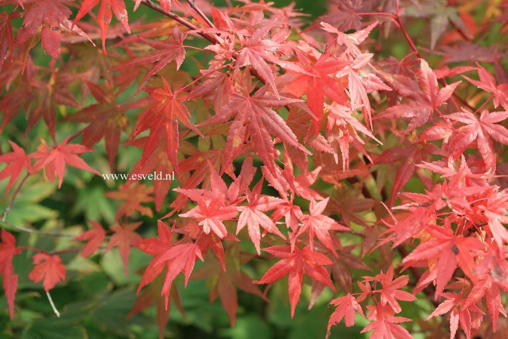 Acer palmatum 'Ao-ba-nishiki'