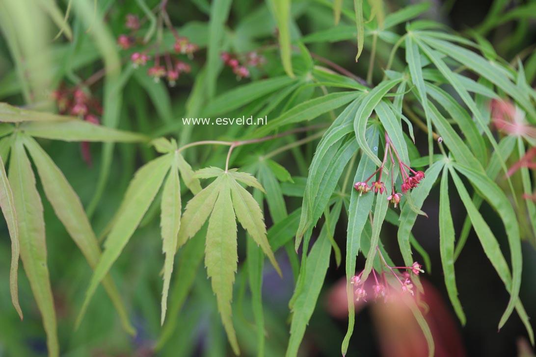 Acer palmatum 'Ao-shichigosan'