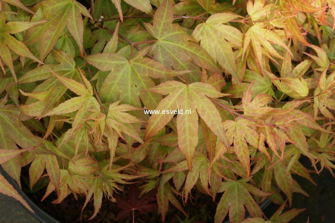 Acer palmatum 'Aoba-joh'