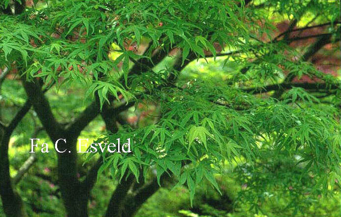 Acer palmatum 'Aome-shime-no-uchi'