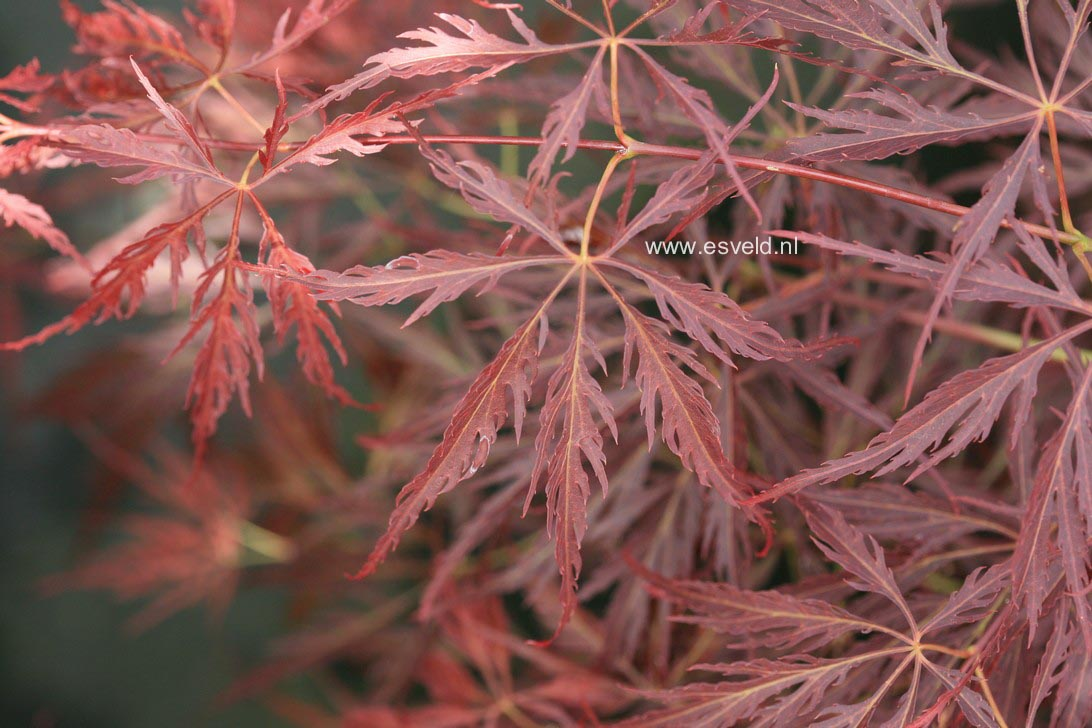 Acer palmatum 'Arton'