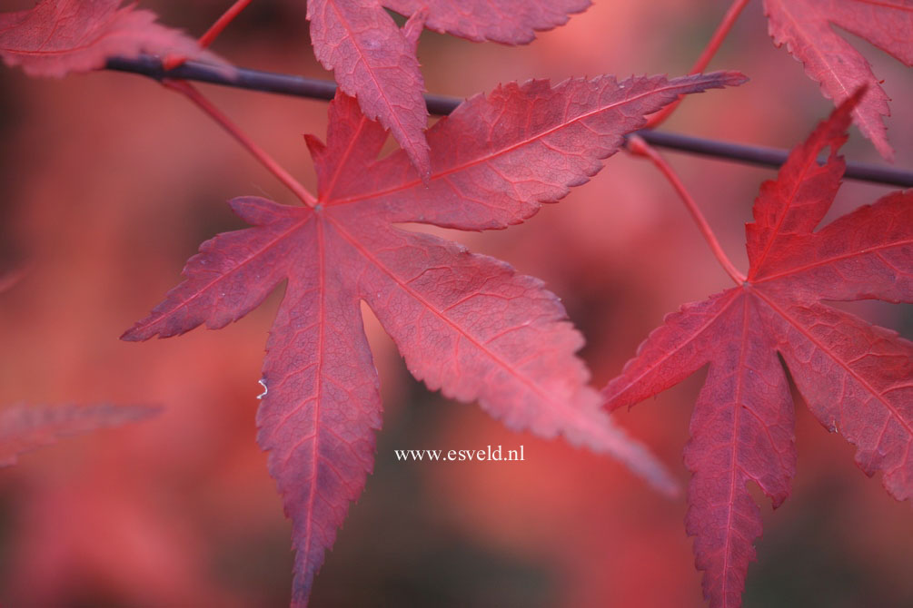 Acer palmatum 'Attraction'