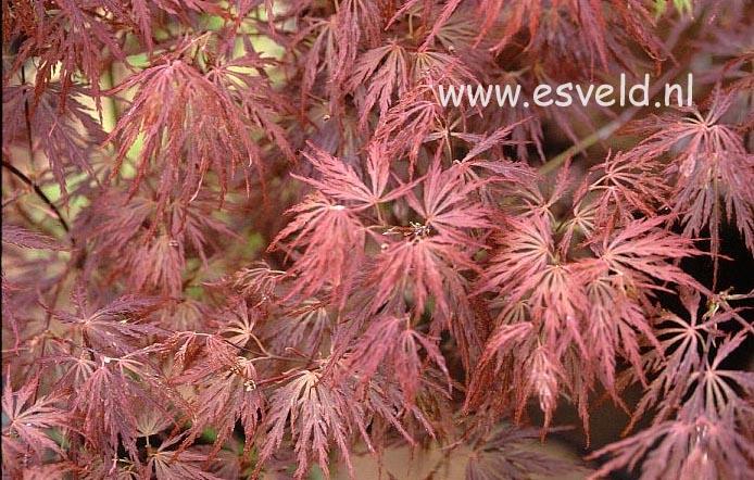 Acer palmatum 'Barrie Bergman'