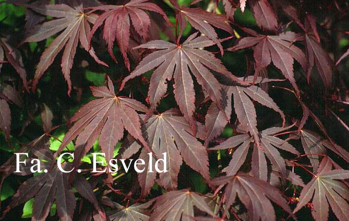 Acer palmatum 'Beni-kagami'