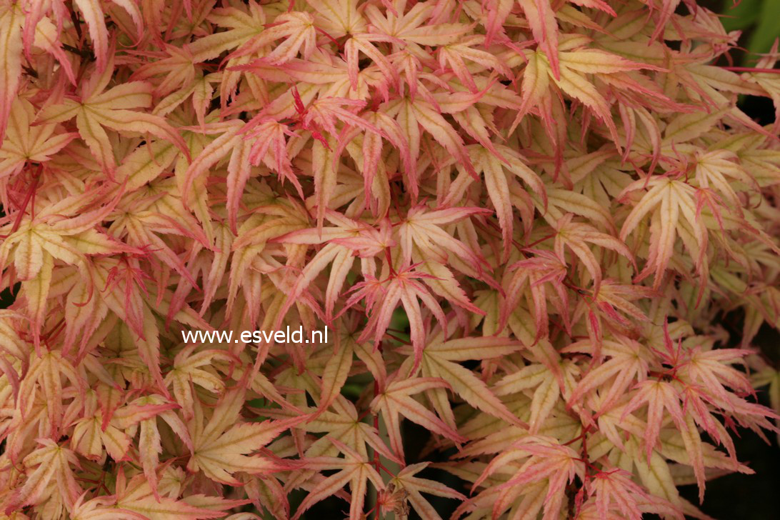 Acer palmatum 'Beni-otome'