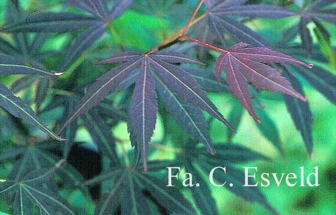 Acer palmatum 'Beni-ubi-gohon'