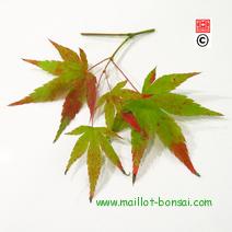 Acer palmatum 'Beni-yatsubusa'