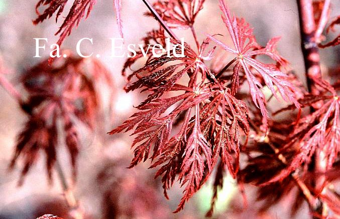 Acer palmatum 'Bewley's Red'