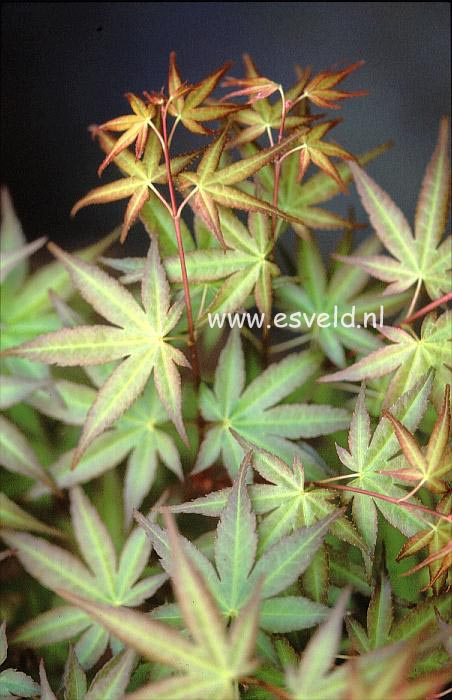 Acer palmatum 'Chi-otome'