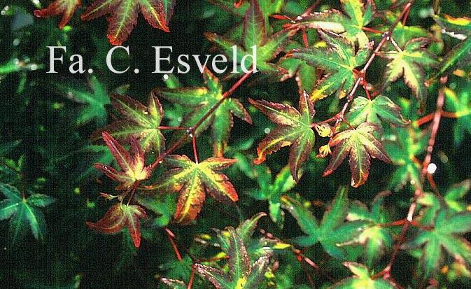 Acer palmatum 'Chishio-hime'