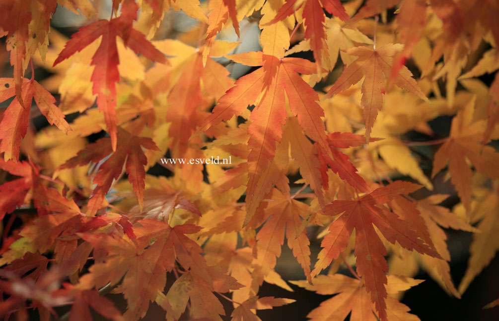 Acer palmatum 'Diana'