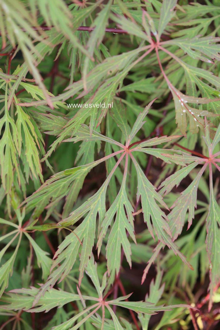 Acer palmatum 'Diana's Gem'