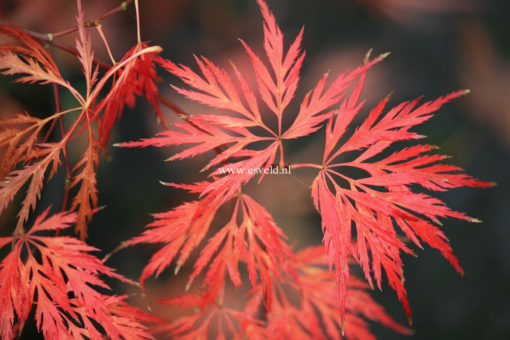 Acer palmatum 'Dr. Baker'