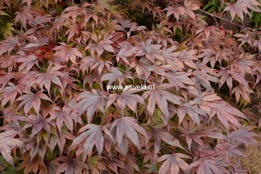 Acer palmatum 'Flushing'