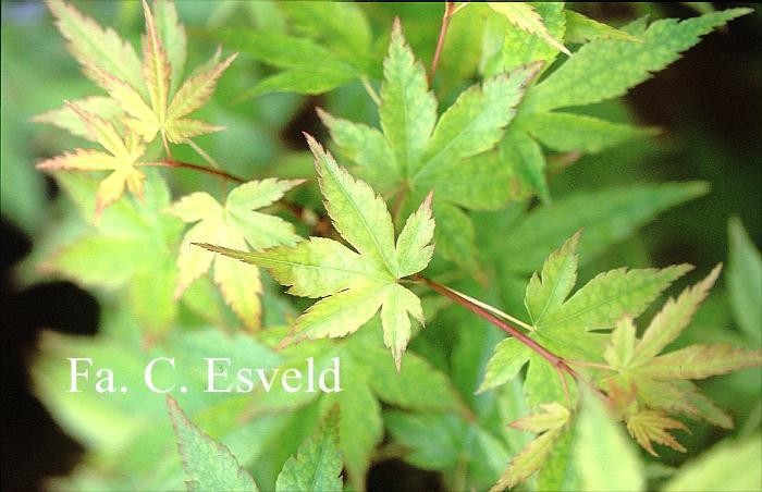 Acer palmatum 'Gekkoh-nishiki'