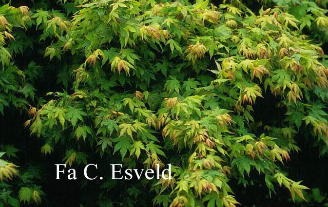 Acer palmatum 'Hanami-nishiki'