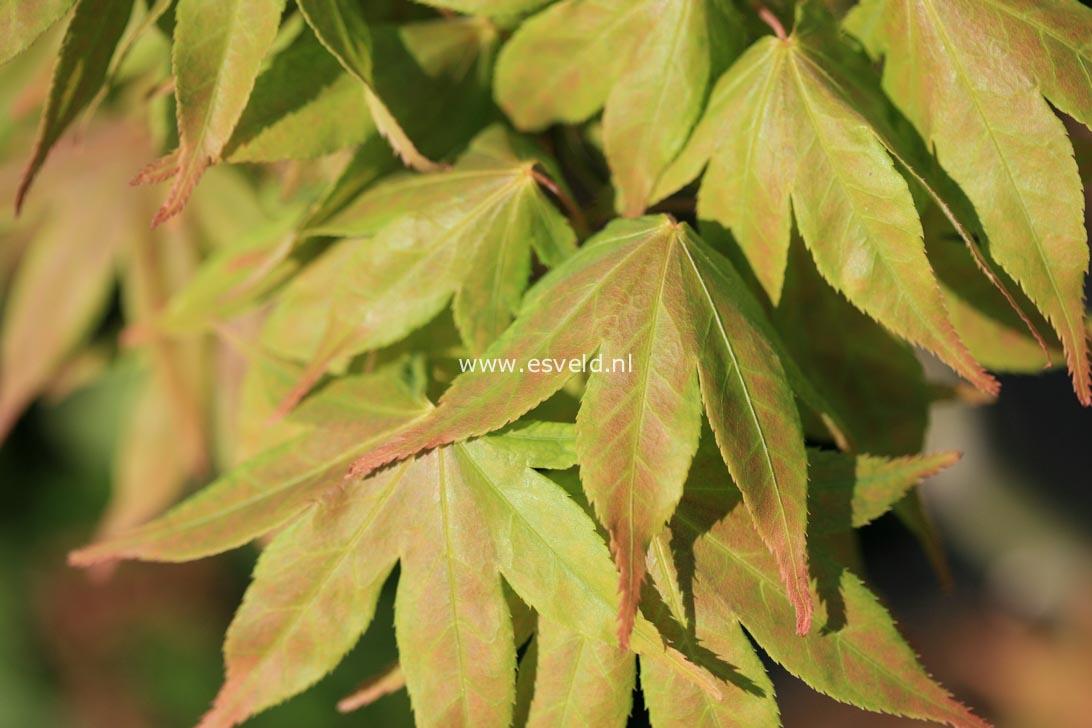 Acer palmatum 'Hatsu-shigure'
