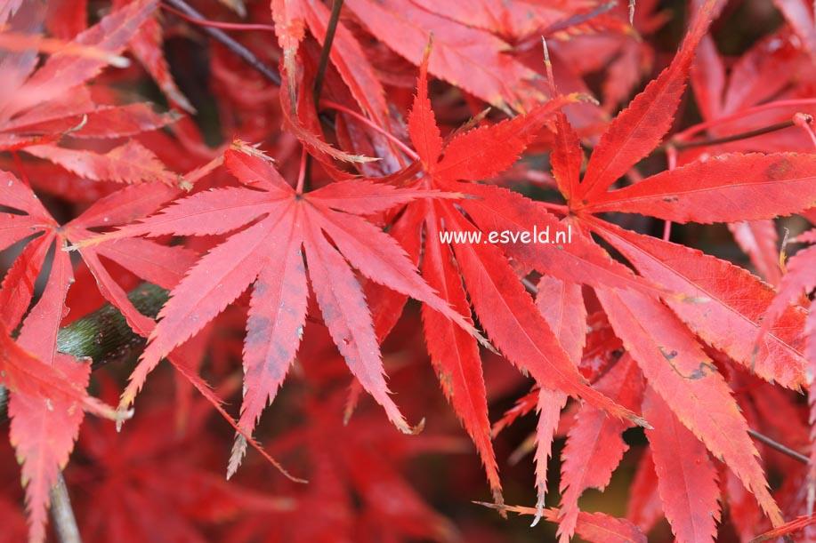 Acer palmatum 'Heiwa'