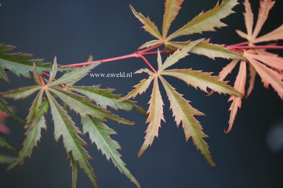 Acer palmatum 'Hida-hanabi'