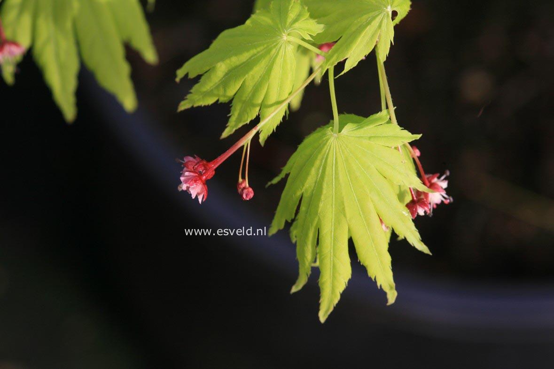 Acer palmatum 'Hime-ha-uchiwa'