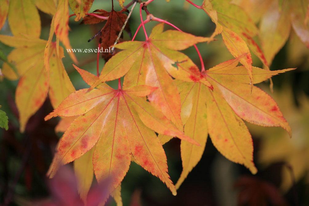 Acer palmatum 'Hondo-Ji'