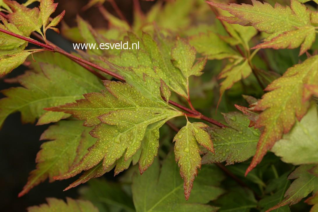 Acer palmatum 'Hosoba-koshimino'