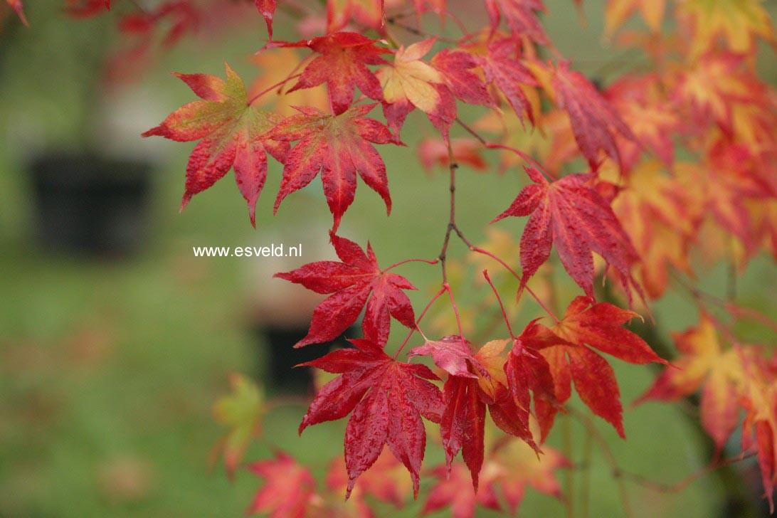 Acer palmatum 'Ide-no-sato'