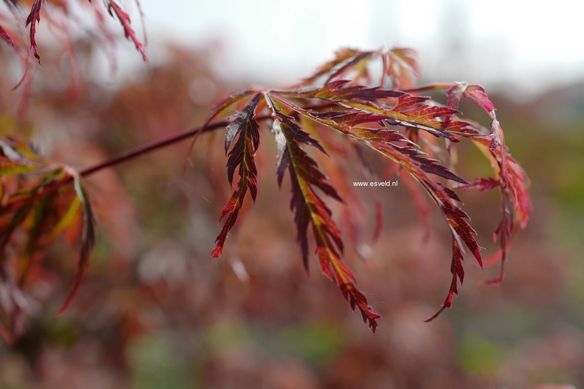 Acer palmatum 'Jeddeloh Orange'