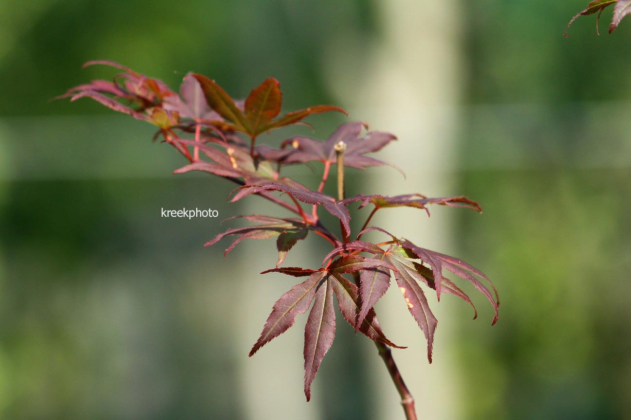 Acer palmatum 'Jim Baggart'
