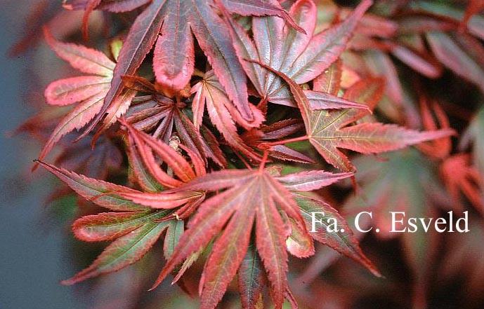 Acer palmatum 'Kandy Kitchen'