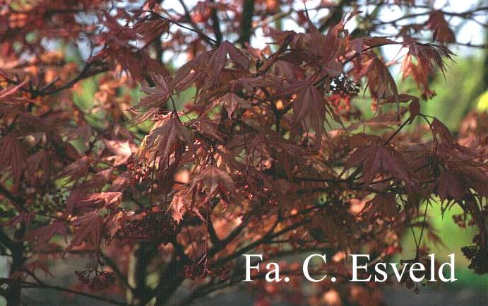 Acer palmatum 'Kasagi-yama'