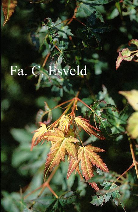 Acer palmatum 'Kashima-yatsubusa'