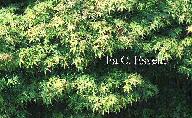 Acer palmatum 'Kashima'