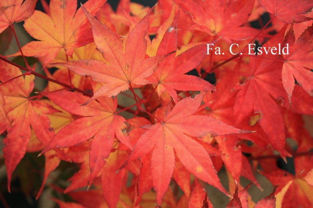 Acer palmatum 'Kibune'