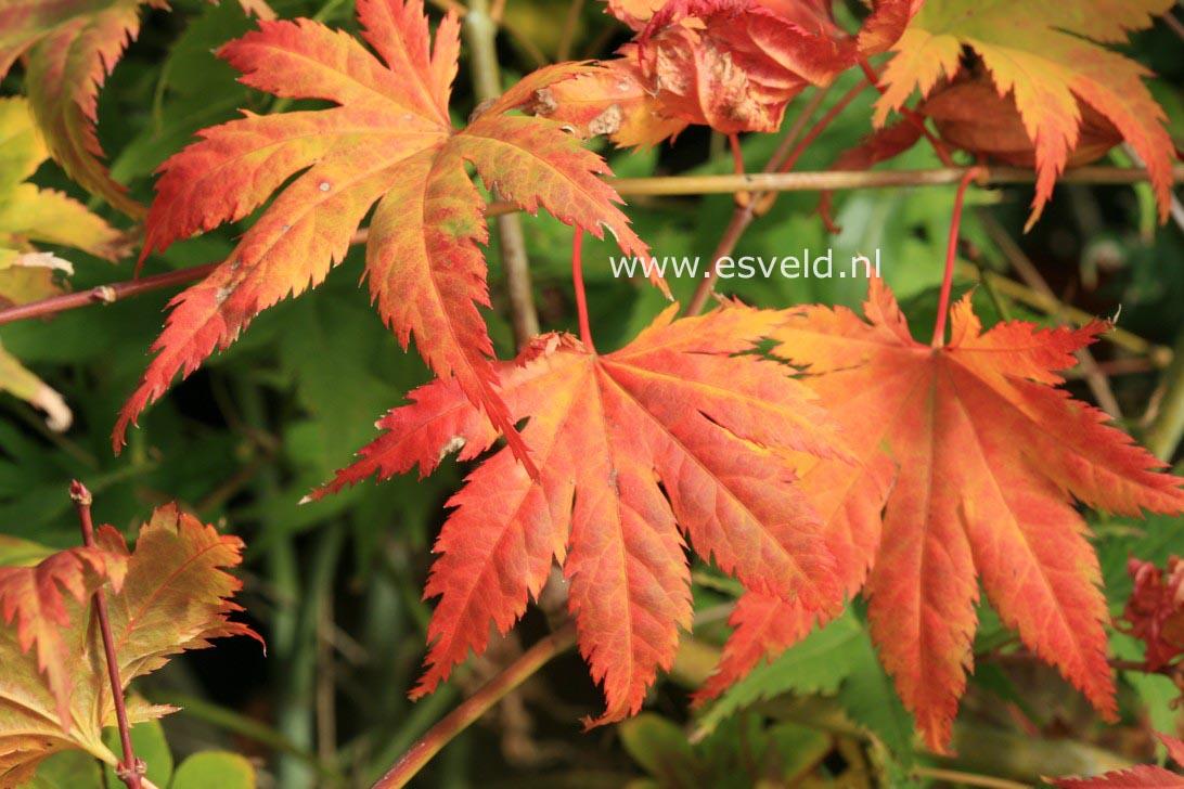 Acer palmatum 'Kishuzan'