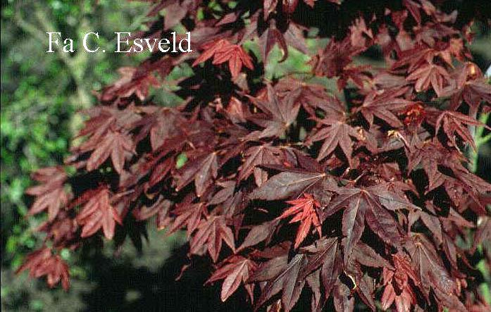 Acer palmatum 'Ko-murasaki'