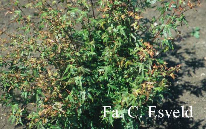Acer palmatum 'Koya-san'