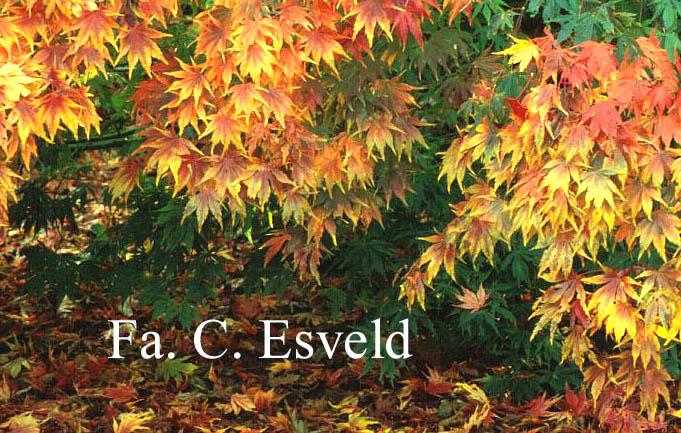 Acer palmatum 'Kurabu-yama'