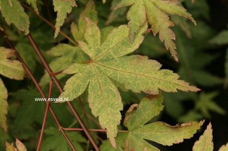 Acer palmatum 'Kurenai'