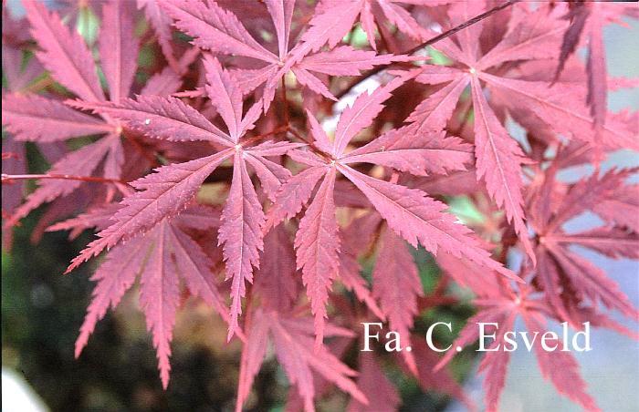 Acer palmatum 'Kuro-kami-yama'