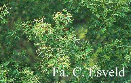 Acer palmatum 'Kurui-jishi'