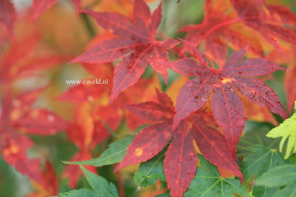 Acer palmatum 'Kuzu'