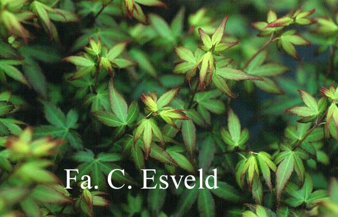 Acer palmatum 'Little Princess'