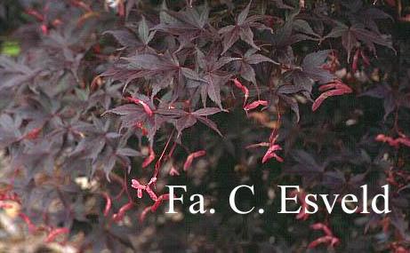 Acer palmatum 'Lozita'