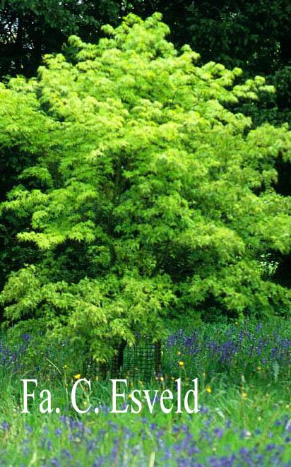 Acer palmatum 'Maiko'