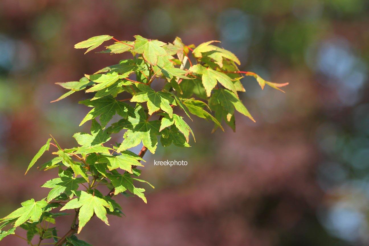 Acer palmatum 'Masa-yoshi'