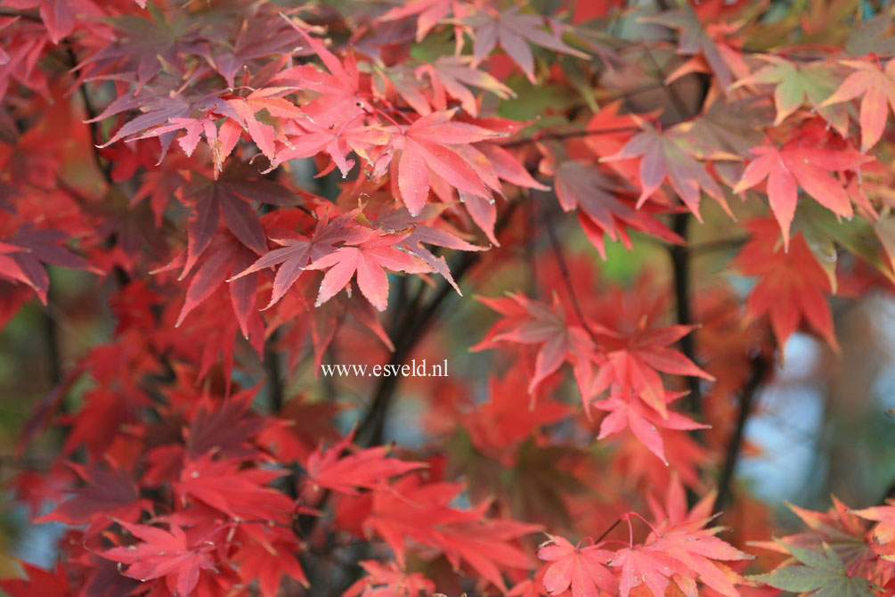 Acer palmatum 'Masu-murasaki'