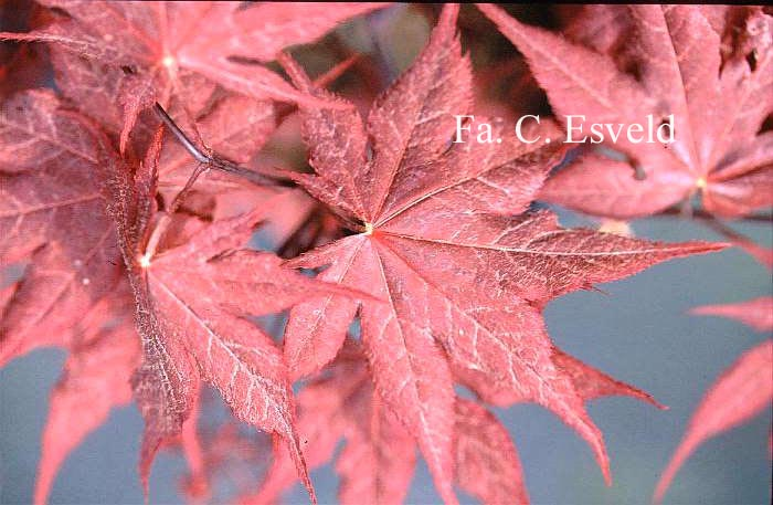 Acer palmatum 'Matsu-kubo'
