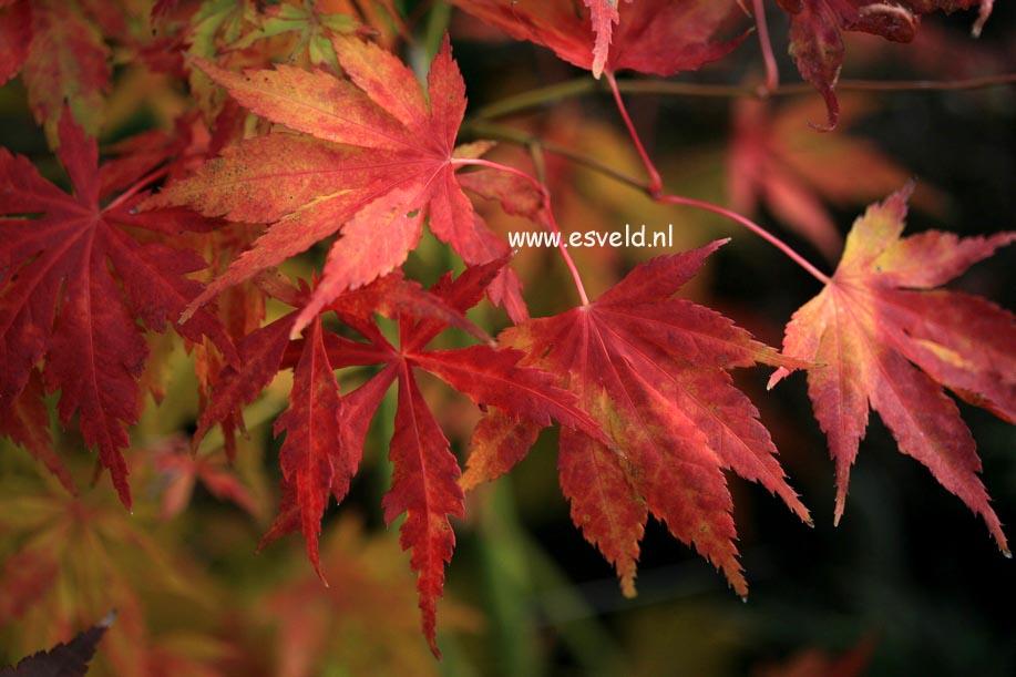 Acer palmatum 'Matsuo'