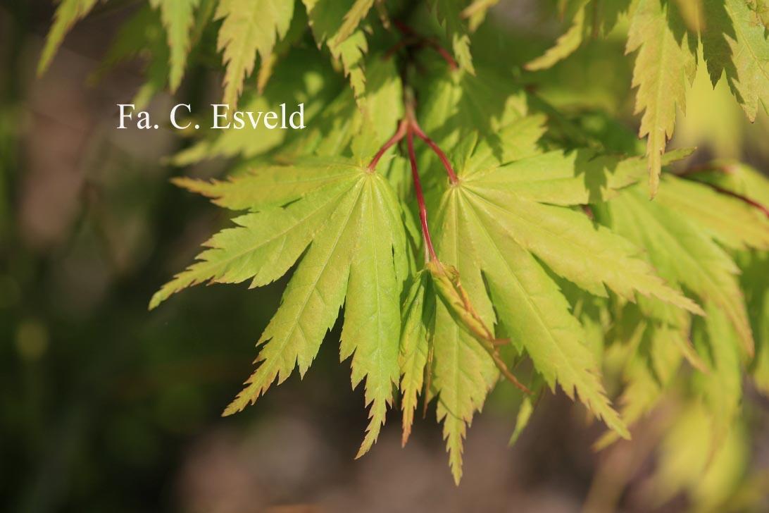 Acer palmatum 'Meoto'